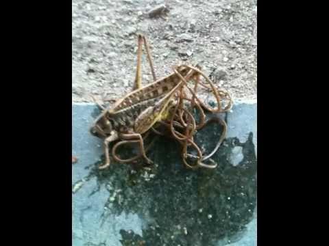 Pyrantel dumating out kapag matapos na matanggap ang mga parasito