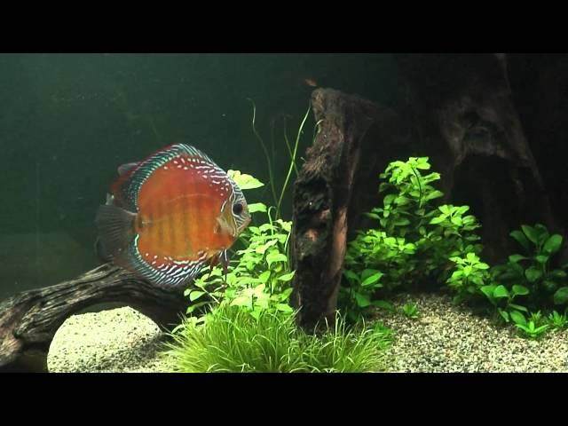 Curipera discus Amazon blackwater biotop aquarium