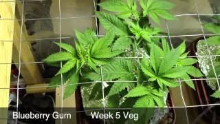 Blueberry Gum Week 5 (Veg) Medical Marijuana Grow