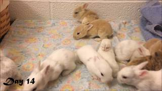 Harlequin Baby Bunnies Days 1-25