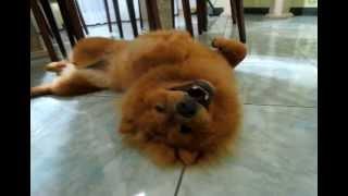 Zara - Chow Chow puppy