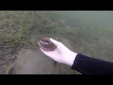 Video The Zebra Mussel Hunter