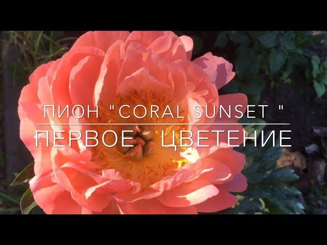 """Пион """" Coral Sunset """" / Корал Сансет / Первое Цветение"""