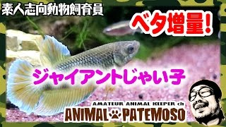 ベタ増量!ジャイアントじゃい子登場!BETTA熱帯魚