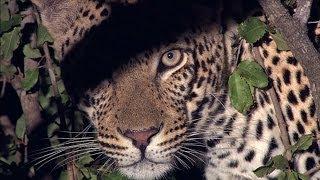 Leopard - Territory