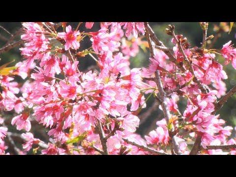 Em Nova Friburgo, cor-de-rosa da floração das cerejeiras ainda permanece