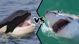 GREAT WHITE SHARK VS KILLER WHALE - Who is the real apex predator?