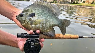 Fly Fishing For Huge Bluegill!