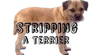 HOW TO STRIP...a terrier
