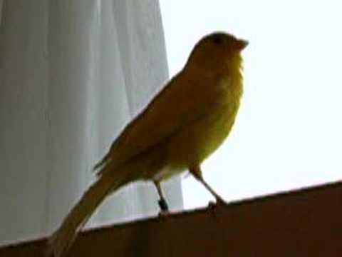 canary تغريد جميل لطائر الكناري