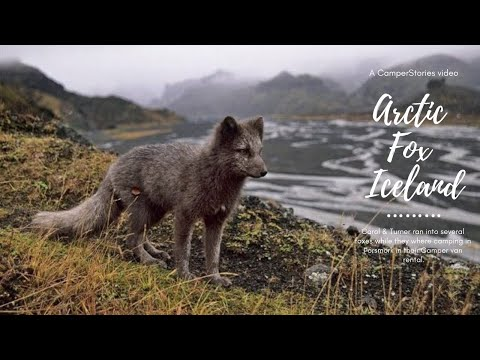 Arctic fox in Iceland - CamperStories