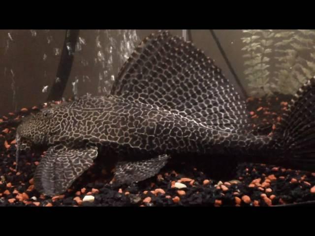 125 Gallon Fish Tank Fresh Water Mini Monsters