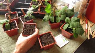 How and When to Seed Start Cucumbers Indoors: Warm Weather - The Rusted Garden 2014