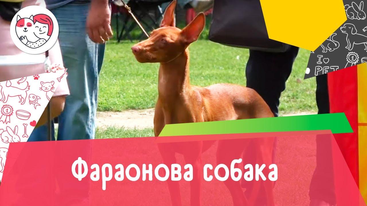 Фараонова собака. Особенности. Уход