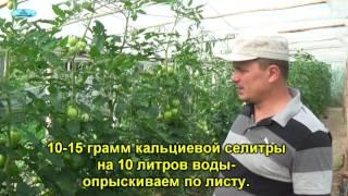 Вершинная гниль на помидорах видео