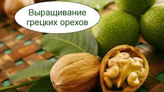 Выращивание грецких орехов. Бизнес идея