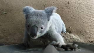 Sad Koala Bear wants to leave