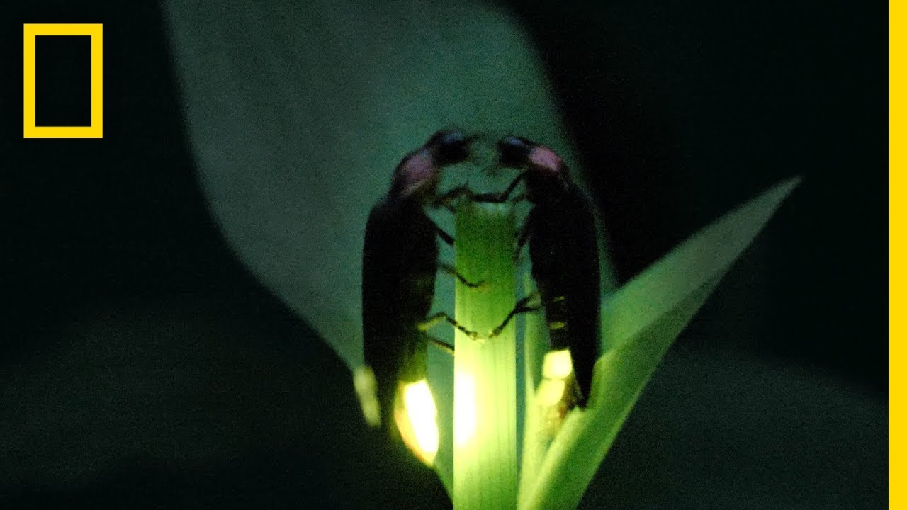 Fireflies Put on a Spectacular Mating Dance | Short Film Showcase thumbnail