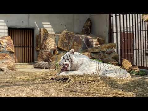 【池田動物園公式】骨付きシカ肉を食べているサンちゃんの様子