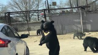 Bear Claws at Open Car Window in Beijing Nature Park
