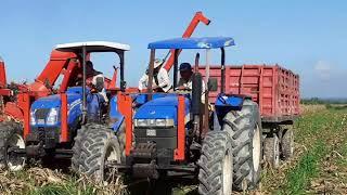 En desarrollo cosecha del maiz en Contramaestre