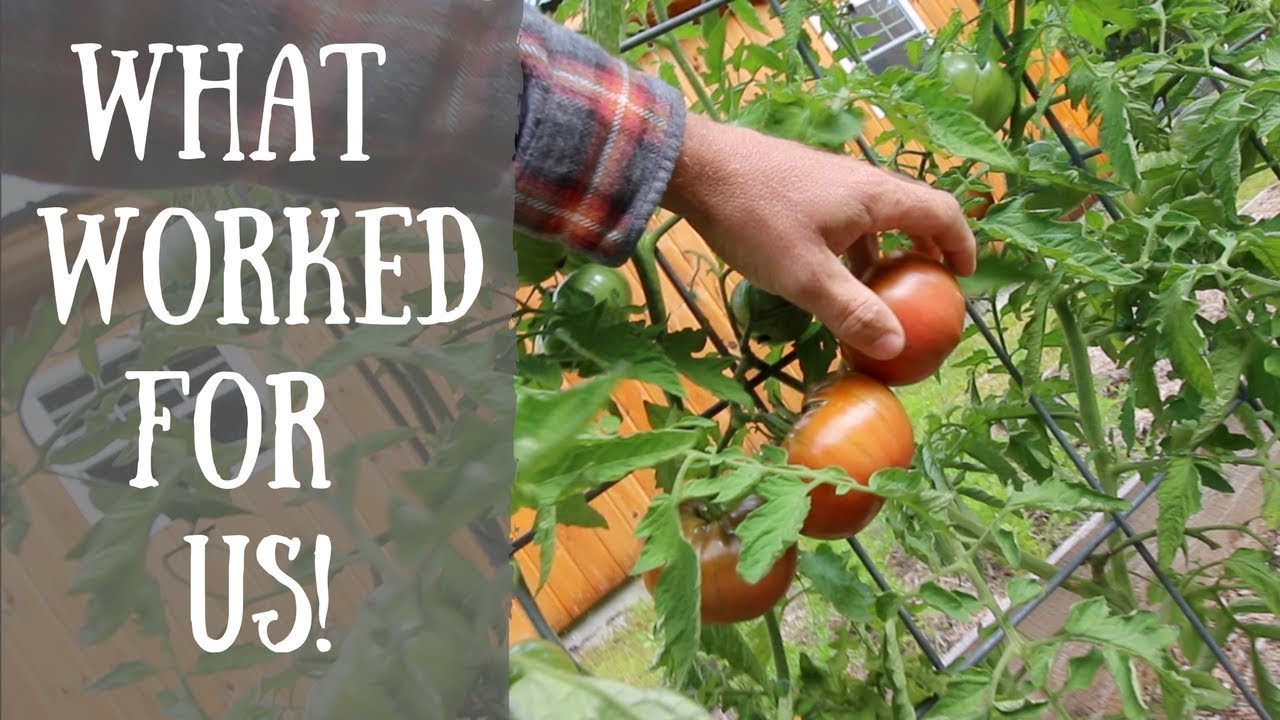 How To Save your Tomatoes from Blossom End Rot