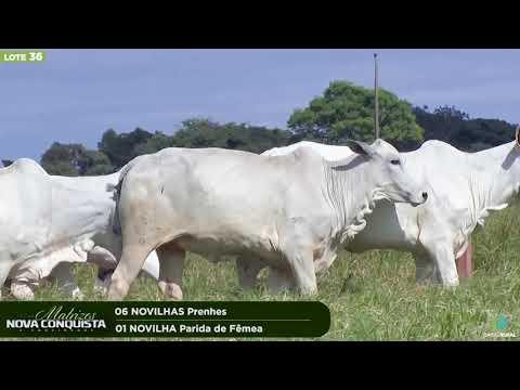 06 NOVILHAS PRENHES - 01 NOVILHA PARIDA