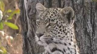 Safari Live : Leopards,  Xongile , Mvula and a unknown Female on drive this morning July 11, 2017