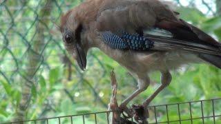 Каннибализм в природе. Сойка съела своего птенца.