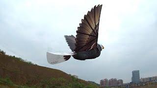 Having Fun Flying GoGo Bird RC Eagle Flappying Wing Ornithopter RC bald Eagle