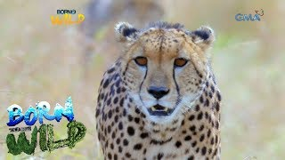 Born to Be Wild: Close encounter with a cheetah