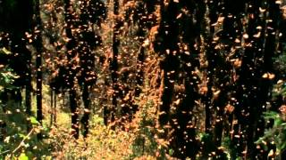 Monarch butterflies amazing migration to Mexico