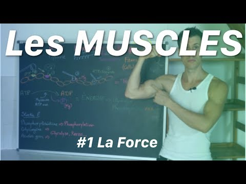 Un large muscle tendant du faisceau