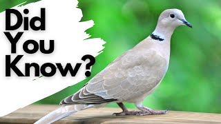 Things you need to know about COLLARED DOVES!