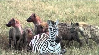 The Most Dangerous Animal's An Attack : Hyenas Eat Zebra and her unborn child is alive.