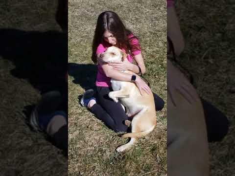 Beamer, an adopted Labrador Retriever & Yellow Labrador Retriever Mix in Harrison, NY_image-1