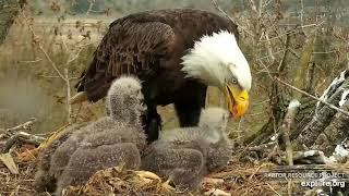 Decorah Eagles 4-26-20, 4:30 pm Mom brings another whopper