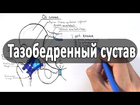 Анатомия тазобедренного сустава - meduniver.com