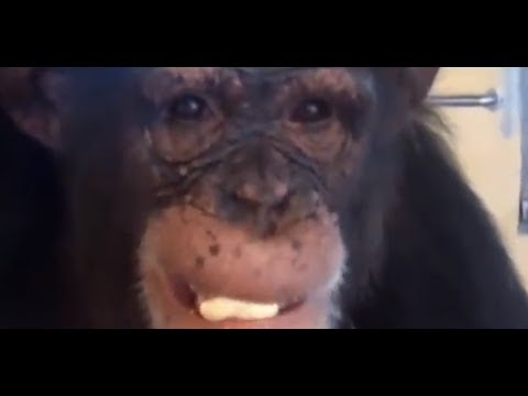 Save the Chimps - Chimp Personalities