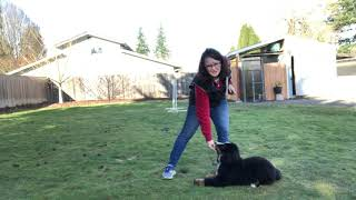 Basic Puppy Obedience Training! How to start training your puppy simple commands positively.