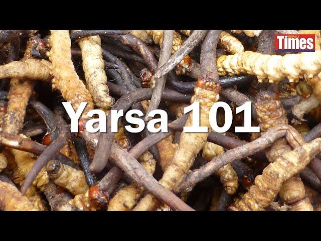 It's yarsa-picking time