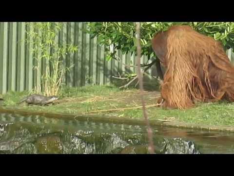 Orangutan Takes on a Romp of Otters