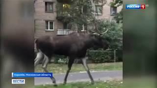 В Химках корова устроила коллапс на дороге, а в Королеве движение остановил лось.