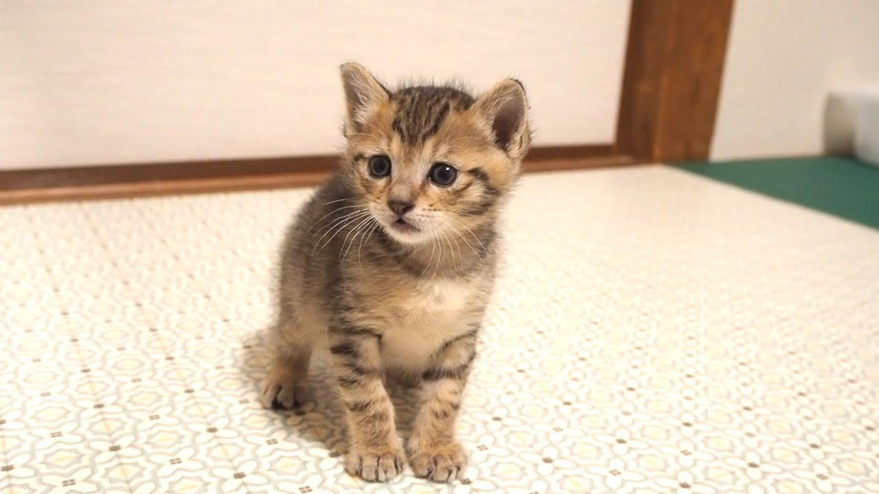 寂しそうな子猫に遊ぼうよと近づいたら兄妹子猫の所に案内してれる。【赤ちゃん猫】【保護子猫】