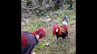 Tiếng gáy và hình ảnh con gà rừng - gà rừng gáy hay
