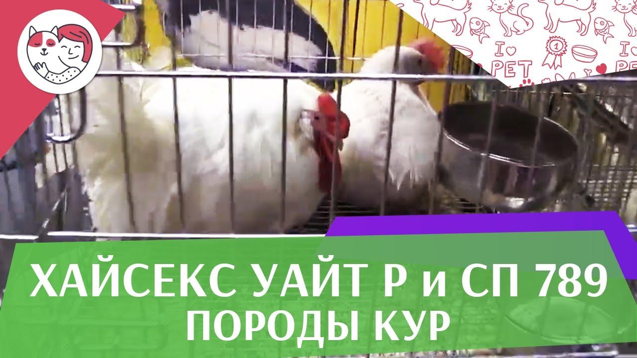 Порода кур ХАЙСЕКС УАЙТ Р и СП 789 Агропромышленная выставка Золотая осень 2016 iLikePet