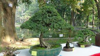SH.2110.Bonsai Lá Nhỏ Cực đẹp  Tại Công Viên Bách Thảo Hà Nội Hôm Nay