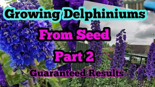 Growing DELPHINIUMS From Seed Part 2