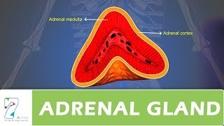 CH04-CHEMICAL COORDINATION IN ANIMALS-PART04-THE ADRENAL GLAND