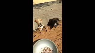 Pitbull puppy ##  fighting for  food  time .